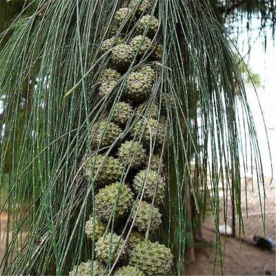 Casuarina equisetifolia (Casuarinaceae)
