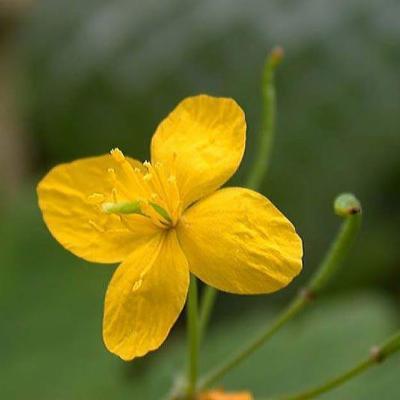 Chelidonium majus (Papaveraceae)