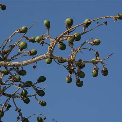 (Chrysobalanaceae)