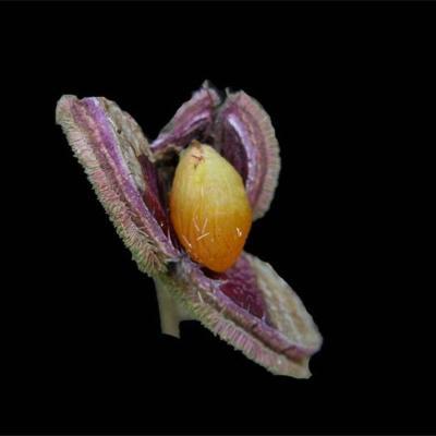 Sloanea monosperma (Elaeocarpaceae)