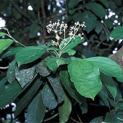 Hasseltia floribunda (Salicaceae)
