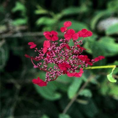 Hydrangea (Hydrangeaceae)