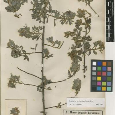 Krameria cytisoides (Krameriaceae)