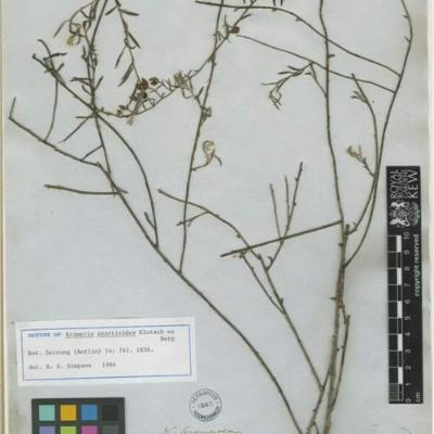 Krameria spartioides (Krameriaceae)