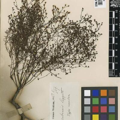 Lechea cubensis (Cistaceae)