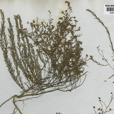 Lechea tripetala (Cistaceae)