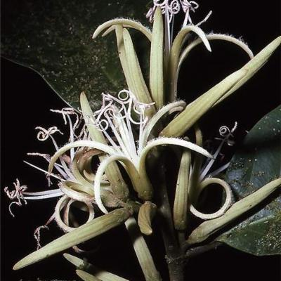 Metteniusa tessmanniana (Metteniusaceae)