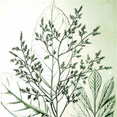 Ophiocaryon heterophyllum (Sabiaceae)