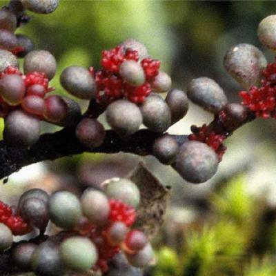 Pilea thymifolia (Urticaceae)