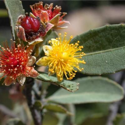 Pineda incana (Salicaceae)