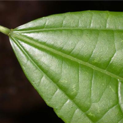 Pleuranthodendron lindenii (Salicaceae)