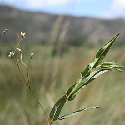 Polygonum meisnerianum (Polygonaceae)