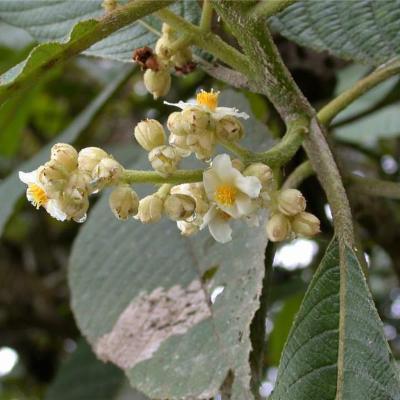 Saurauia (Actinidiaceae)