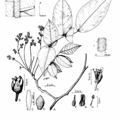 Rourea carvalhoi (Connaraceae)