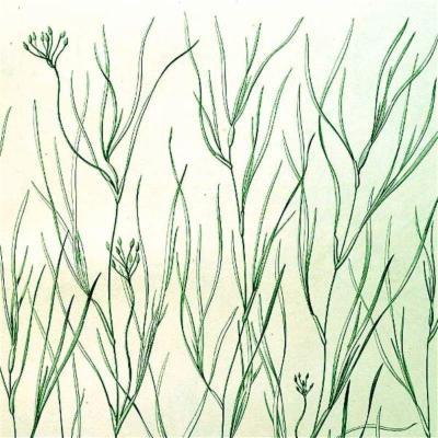Ruppia maritima (Ruppiaceae)