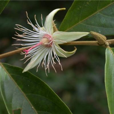 Ryania speciosa (Salicaceae)