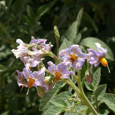 Solanum (Solanaceae)