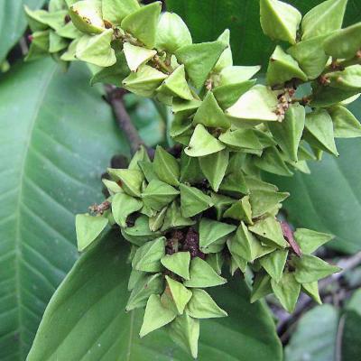 Symmeria paniculata (Polygonaceae)