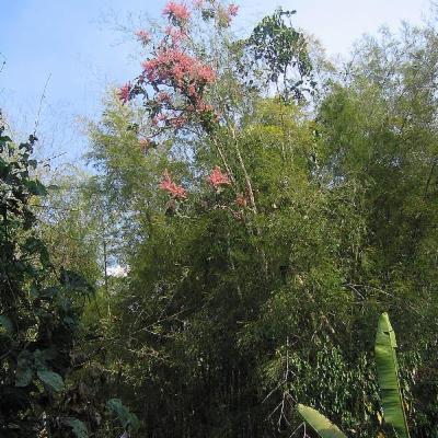 Triplaris americana (Polygonaceae)