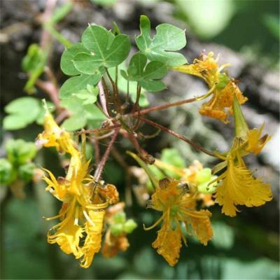Tropaeolum (Tropaeolaceae)