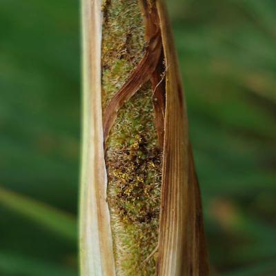 Typha angustifolia (Typhaceae)