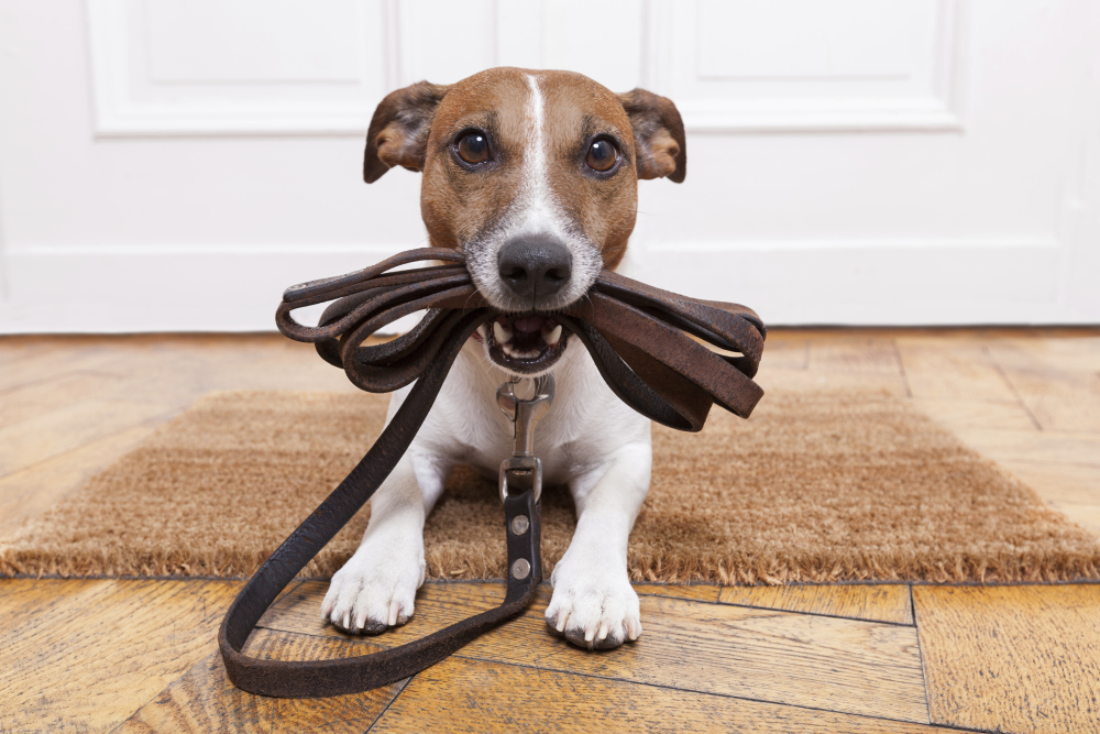 puppy with leash ready to learn ready for training ready for walk
