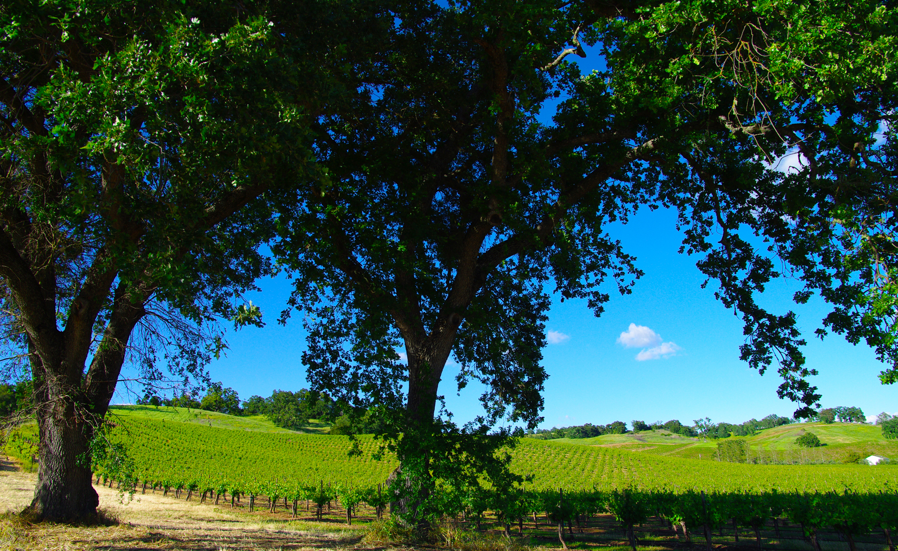Oaks and Vines