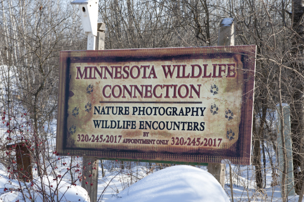 Minnesota Wildlife Connection Animals Nature Photography photo photographs photgraphs photographers fotografe great lakes Canis lupus wolf wolve wolves wolfs  black wolf grey wolf timber wolf eastern grey wolf tundra wolf Vulpini fox red fox Vulpes vulpes foxes foxxes vixen black fox silver fox cross fox gray fox kit fox kits Urocyon cinereoargenteus grey fox foxs Canis latrans coyote vote brush wolf coyotes coytes coyots Castor beaver beavers baevers baever Ursidae bear bears black bears brown bear cubs baby bear Puma concolor puma cougar mountain lion cougars pumas mountain lions catamount catamounts Lynx rufus bobcat bobcats bobs cats kittens Taxidea taxus badger badgers bagers baders Martes pennanti fisher fishers fisers fiser martin weasel Mustela ermine weasels ermines otter art artist reference video videography brush painting drawing wild rocks streams birch forests kettle river Sandstone Greenly Lee Lee Greenly Nature photography experience travel unique young old opportunities hinckley banning junction robinson park MN Wildlfie Minnesota wildlife  connection wildlife lee greenly animals animal photorgraphy photography photo foto fotografe art artistry art reference amateur nonpro professional video videography Minnesota Great lakes travel scenic appointment only travel rocks birch forest natural setting unique experience experiences opportunity opportunities artistry shooting shoots specials game farm DNR wolf wolfs wolves black wolf grey wolf timber wolf tundra wolf eastern grey red fox grey fox gray fox silver fox black fox cross fox foxes foxxes foxs coyote yote brush wolf coyotes bear bears black bears brown bears cinnamon bear ursidae canine canid raccoon skunk porcupine woodchuck groundhog mink weasel ermine fisher fishers cougar puma mountain lion catamount cougars  bobcat bobs bob kitty badger whitetail deer  inc spring summer winter fall prey carcass pack packs opossum  encounters Lee Marvin Greenly family family business twenty five years experience testimony testimonials