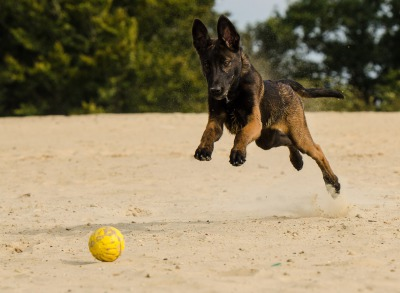 A Controversial Stance on Malinois in Pet Homes