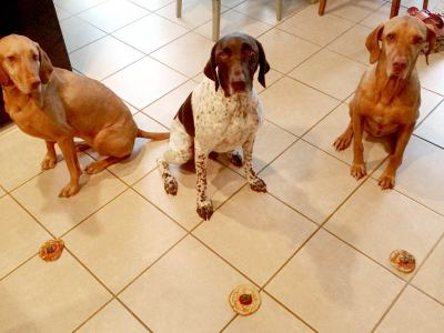 Group of dogs waiting for command to eat their treats