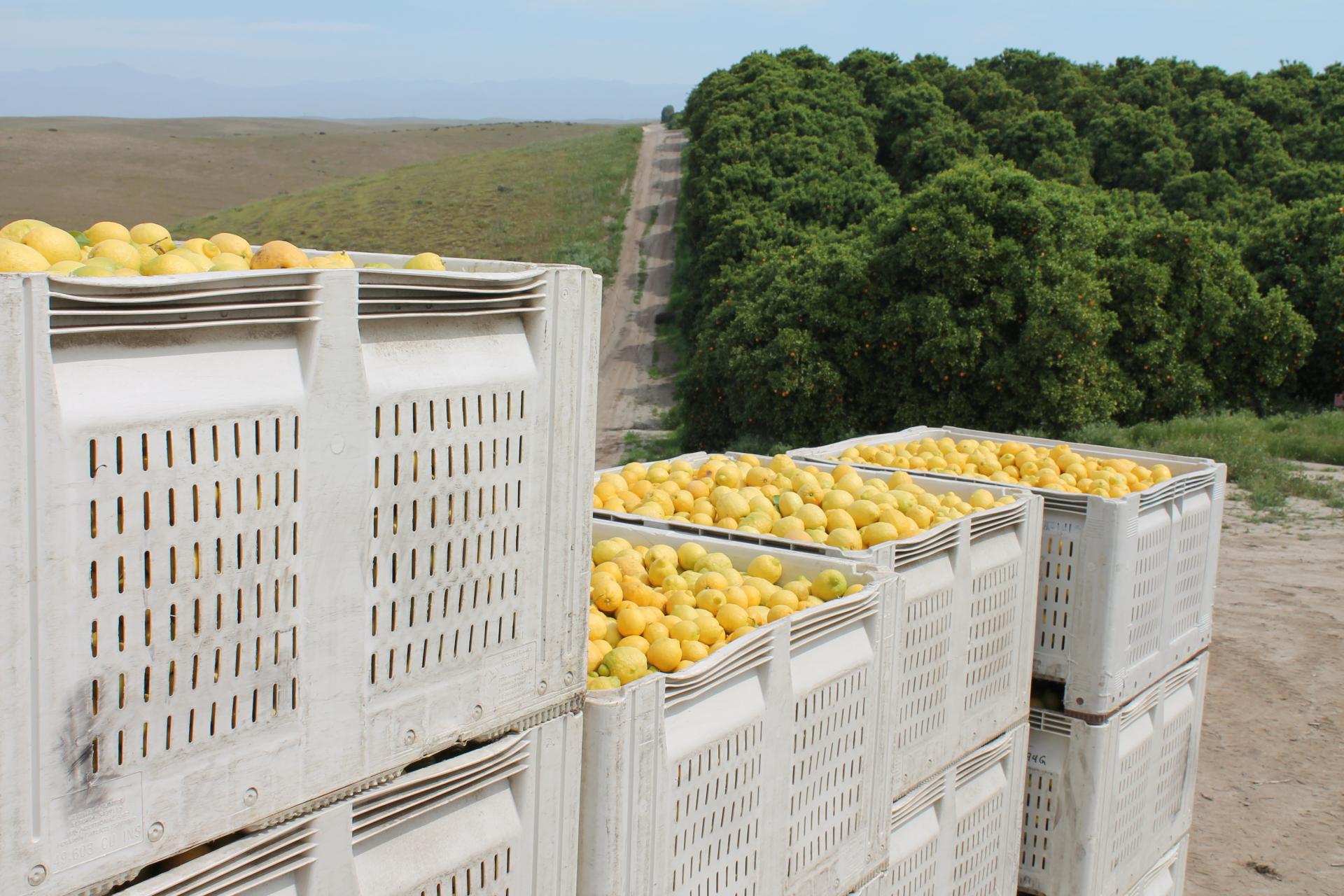 Bins of lemons