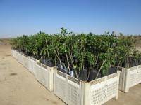 New lemon trees