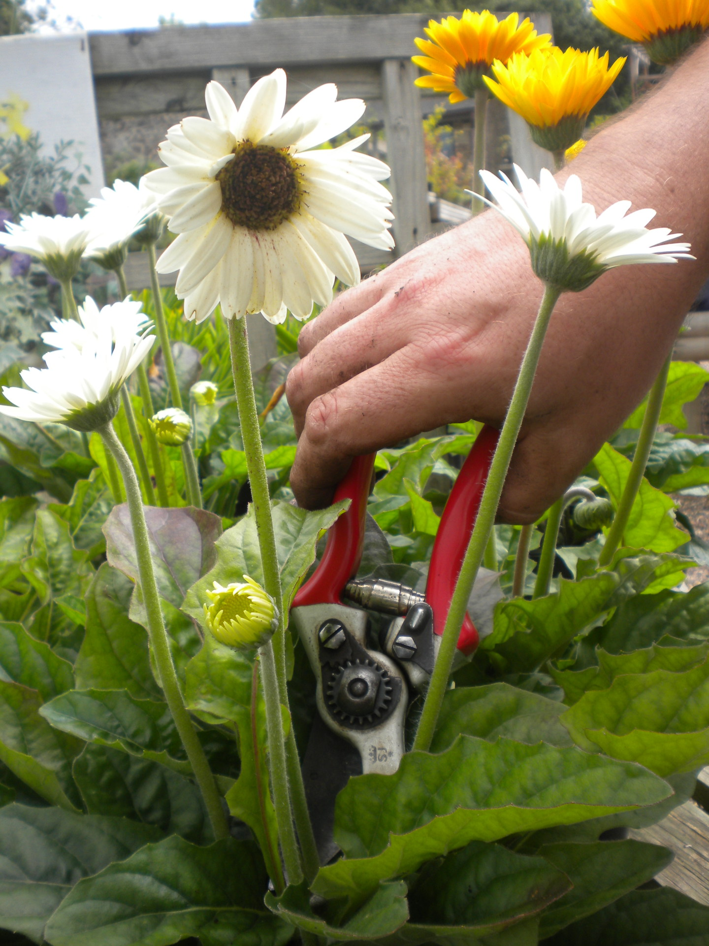 Deadheading - how to keep your plants looking good for longer