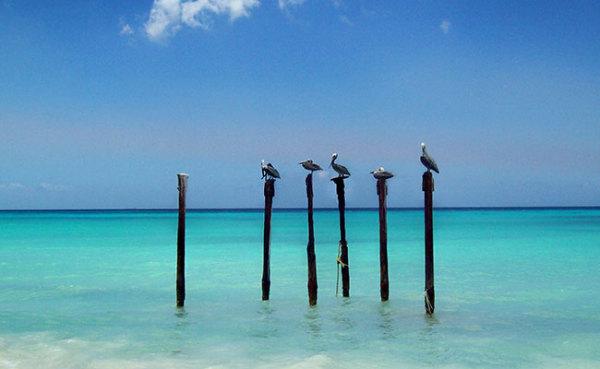 Pelicans-in-Aruba