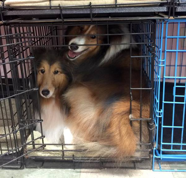 How many shelties fit in a cage?
