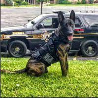 dog working in a k9 bullet proof vest