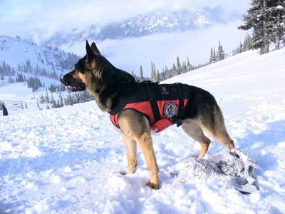 Avalanche dog wearing a k9 lifting harness watches over a mountain