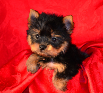 Picture of sold Yorkie puppy