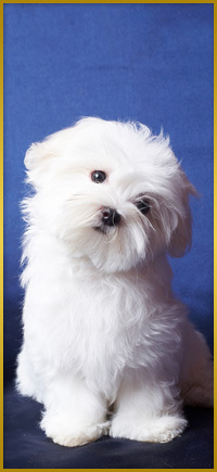 Picture of Maltese puppie