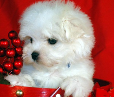 Picture of sold Maltese puppy