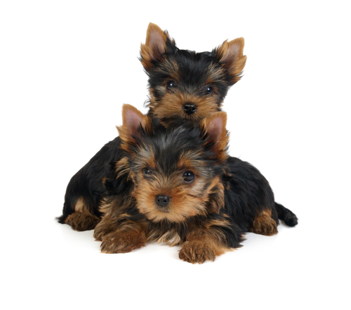 Picture of Yorkies