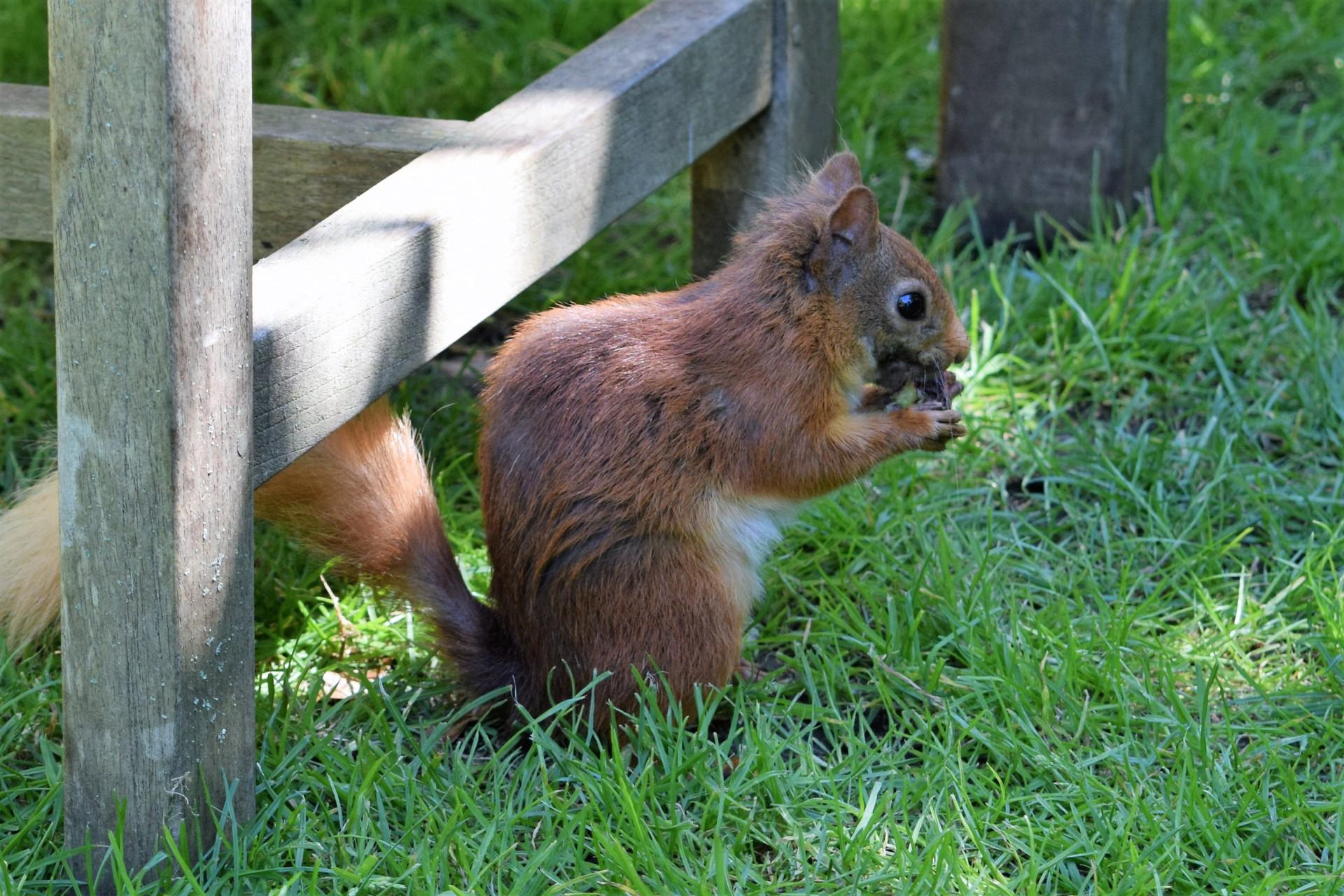Red Squirrel Surprise