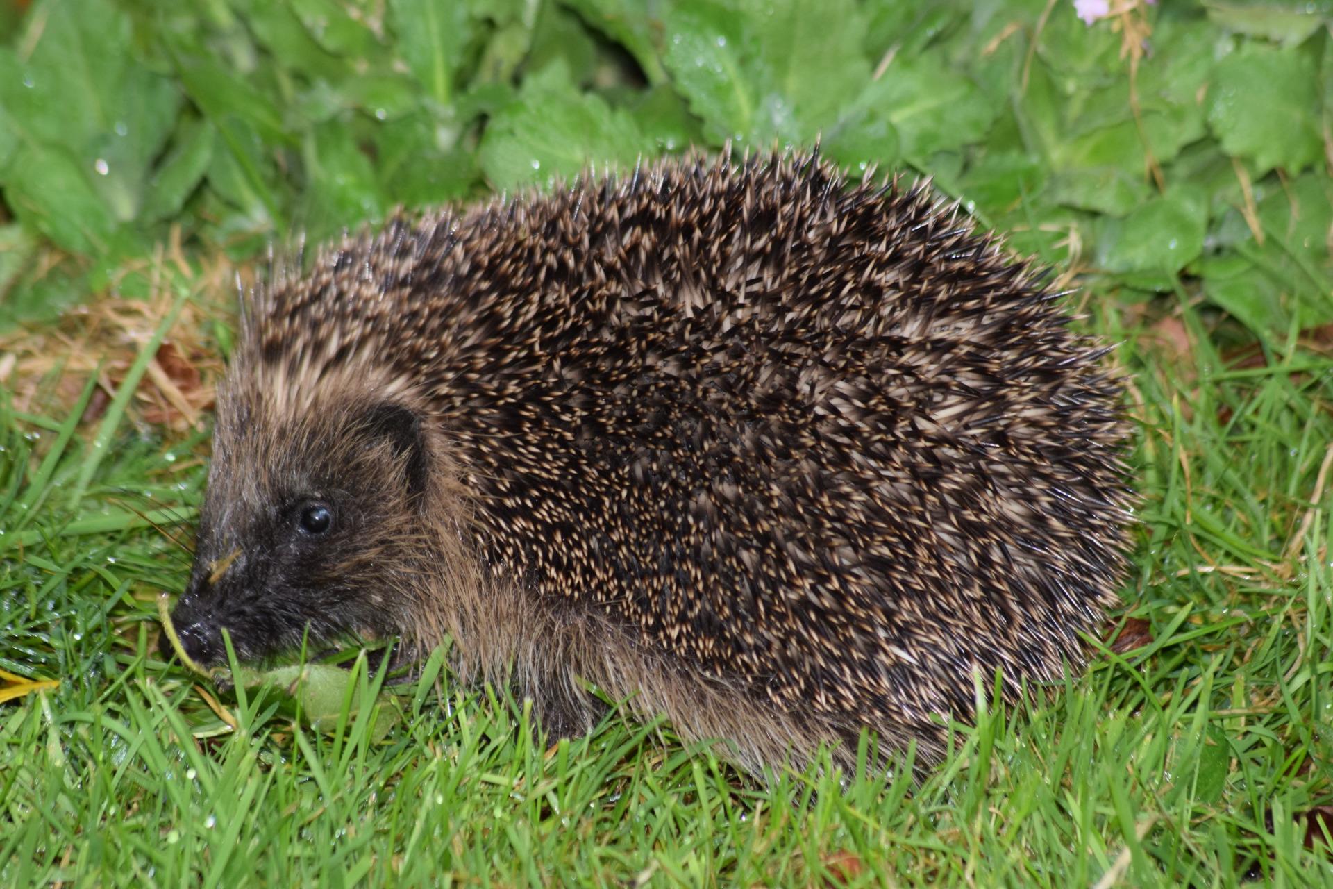 Hedgehog in Trouble