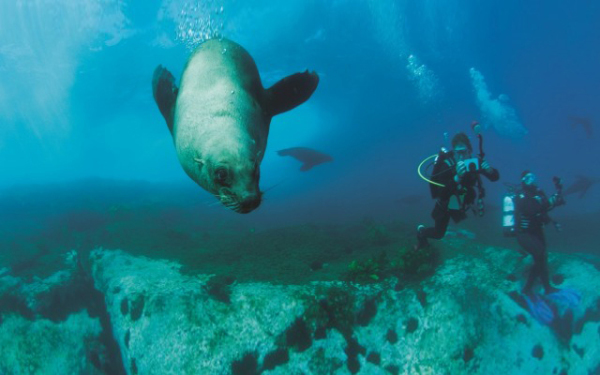 Diving with seals, Montague Island