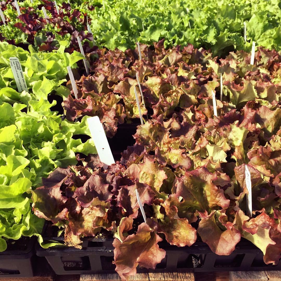 More veggie starts are in!