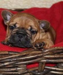 """red fawn french bulldog"""