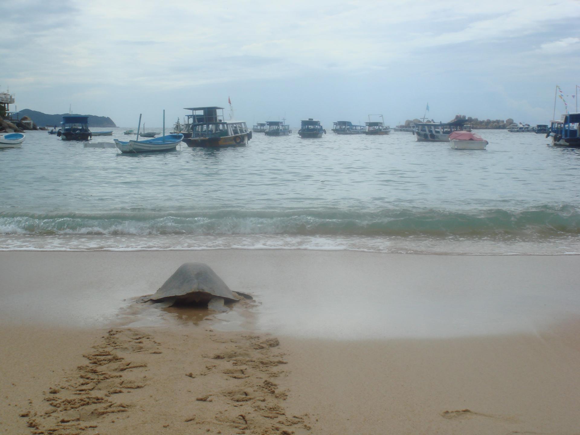 Tortugas en la Playa Caleta