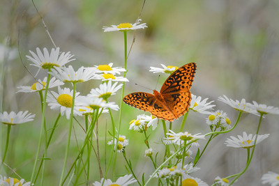 Great-Spangled-Fritillary-Butterfly-on-Wild-Daisies-S