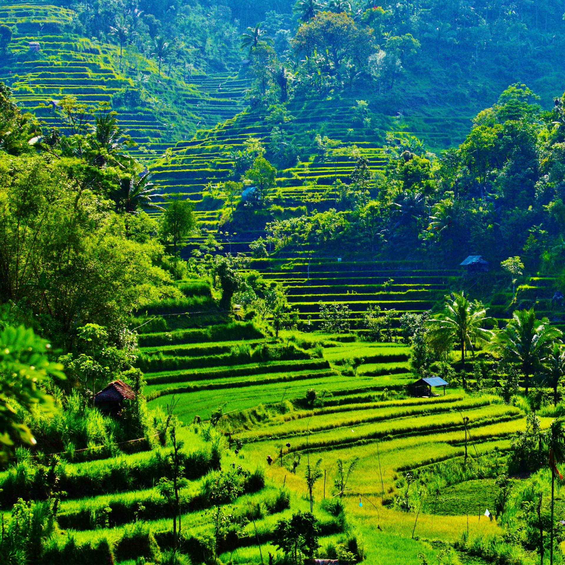 Ricefields-Bali