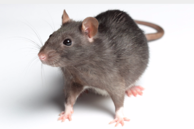 Rats in your Attic?